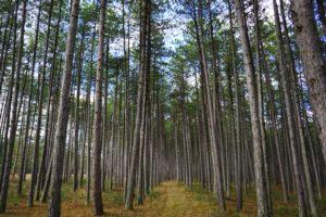 Choisir du gaz bio c'est comme si vous plantiez une forêt de pins maritimes